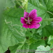 Location: Plano, TXDate: 2013-06-24Dark pink/purple bloom