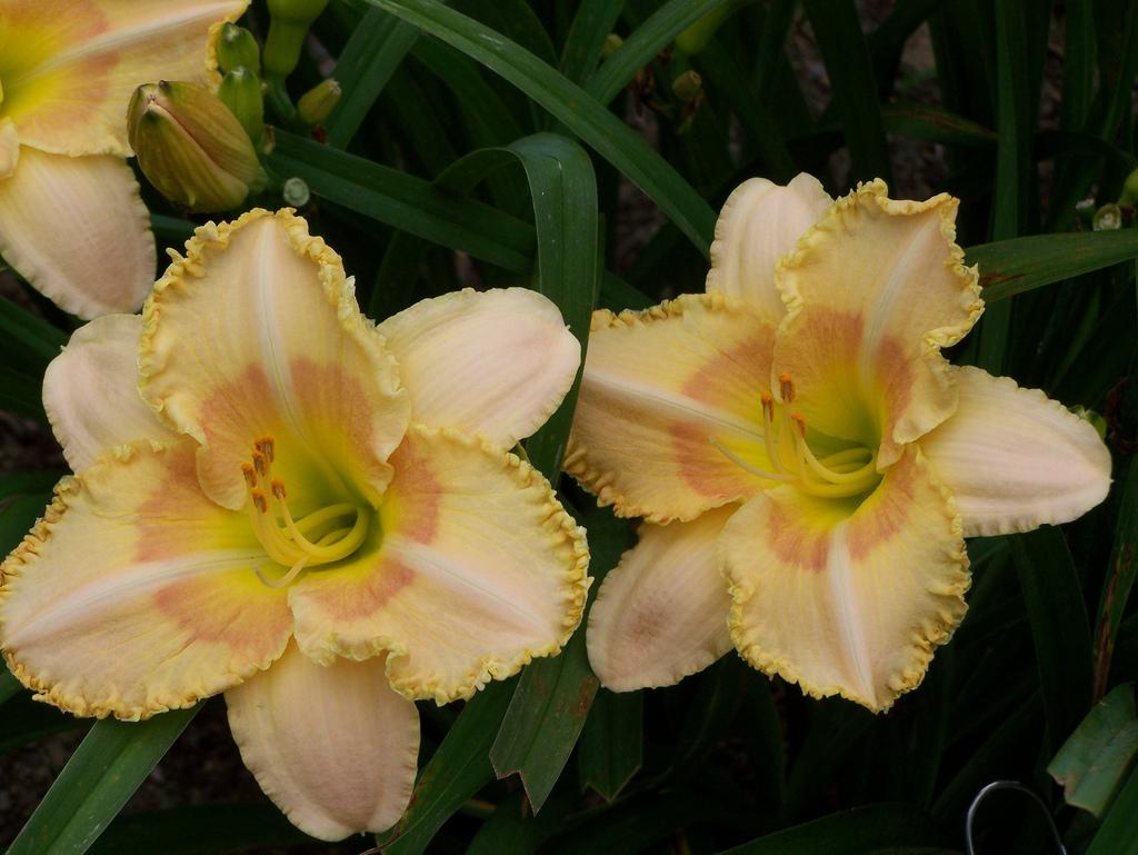 Photo of Daylily (Hemerocallis 'Wisest of Wizards') uploaded by Calif_Sue