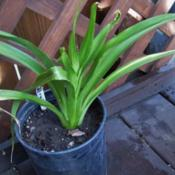Location: northern california zone 9bDate: 2013-05-06Ransom Note foliage