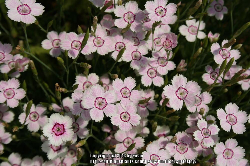 Photo of Maiden Pink (Dianthus deltoides 'Arctic Fire') uploaded by 4susiesjoy