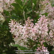 Location: My GardenDate: 2013-06-22This lilac blooms pure white but in a few days aquires a lovely p