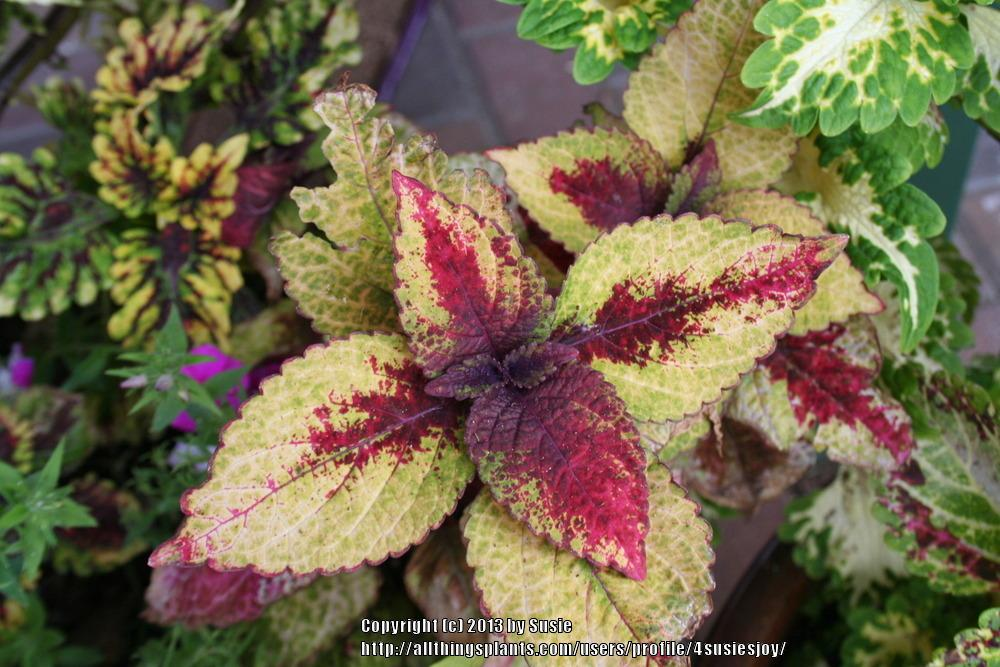 Photo of Coleus (Coleus scutellarioides Honey Crisp) uploaded by 4susiesjoy
