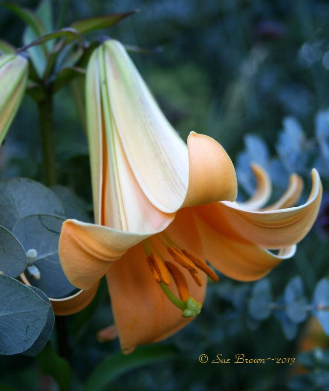 Photo of Lily (Lilium 'African Queen') uploaded by Calif_Sue