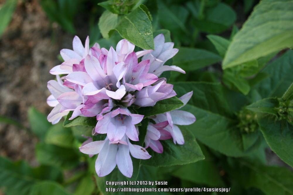 Photo of Clustered Bellflower (Campanula glomerata 'Caroline') uploaded by 4susiesjoy