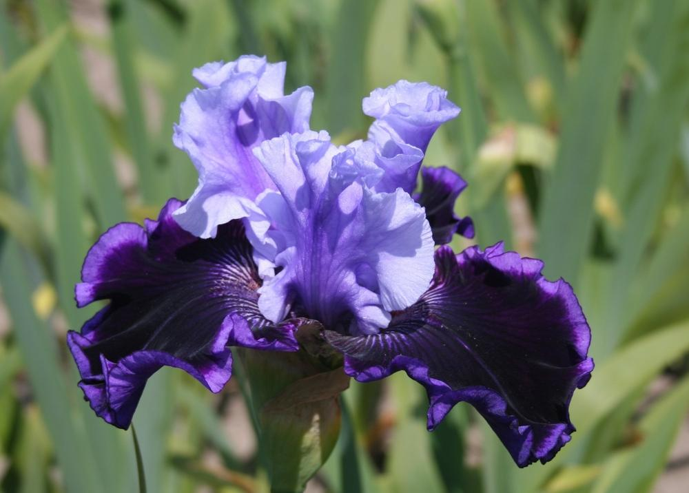 Photo of Tall Bearded Iris (Iris 'Wicked Good') uploaded by KentPfeiffer