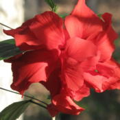 Location: Our sunroom, Hot Springs Village, ARDate: 2009-11-22Double red hibiscus