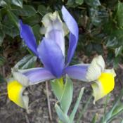 Location: In my zone 8 gardenDate: 2011-03-16