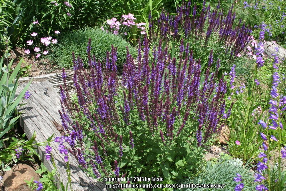 Photo of Salvia (Salvia x sylvestris 'Blue Queen') uploaded by 4susiesjoy