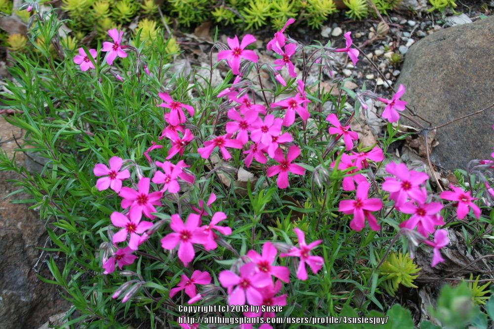 Photo of Creeping Phlox (Phlox subulata 'Red Wing') uploaded by 4susiesjoy