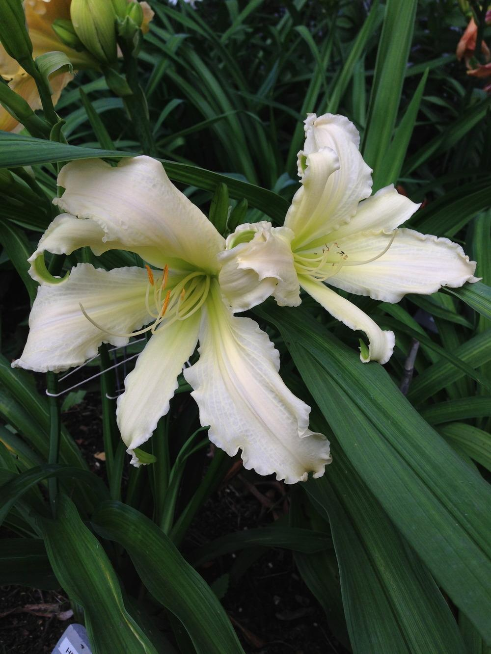 Photo of Daylily (Hemerocallis 'Heavenly Angel Ice') uploaded by JWWC