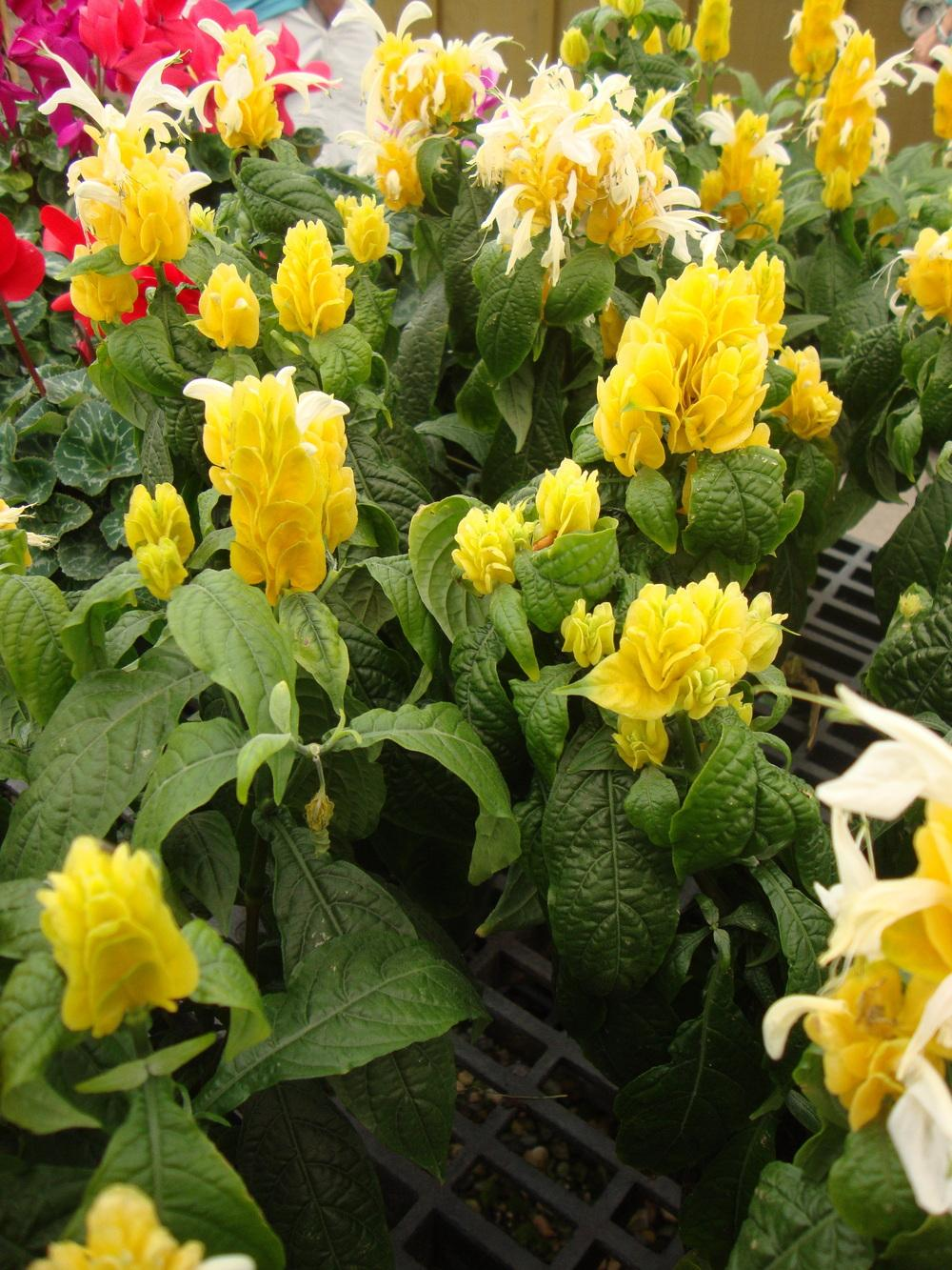 Photo of Golden Shrimp Plant (Pachystachys lutea) uploaded by Paul2032