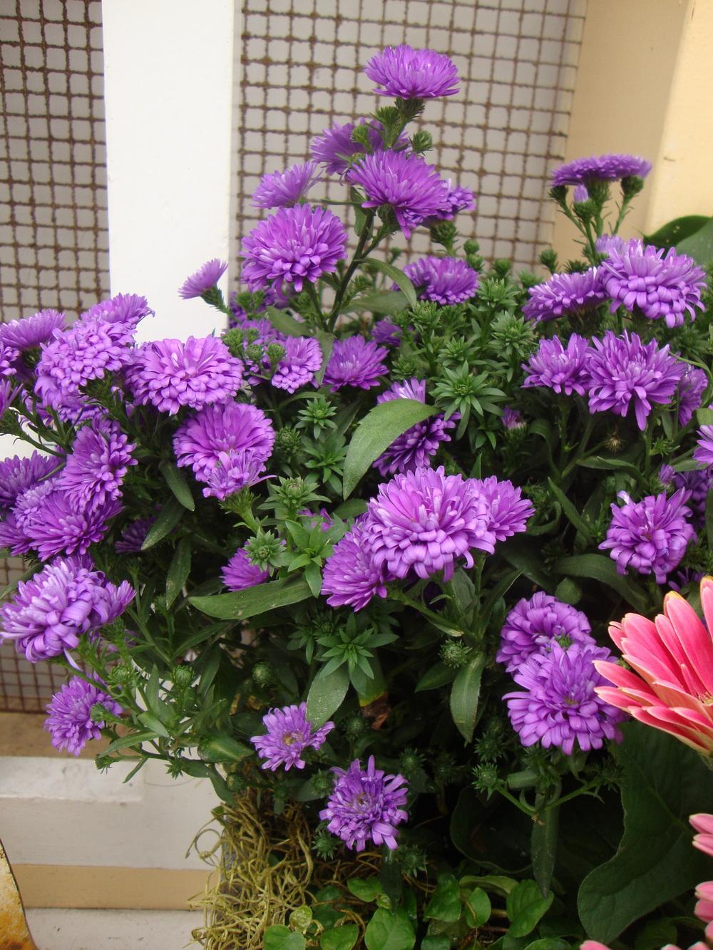 Photo of Asters (Aster) uploaded by Paul2032