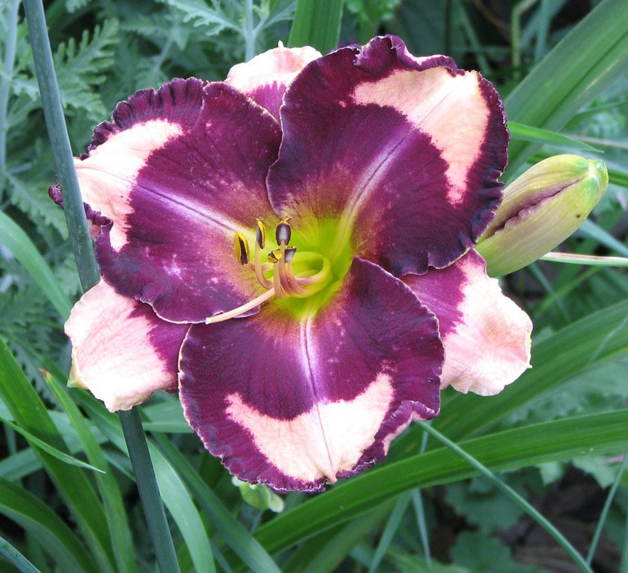 Photo of Daylily (Hemerocallis 'Nicole's the One and Only') uploaded by mlt