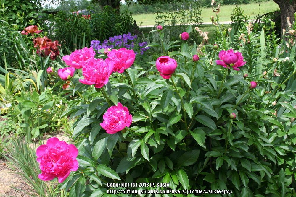 Photo of Peony (Paeonia lactiflora 'Felix Crousse') uploaded by 4susiesjoy