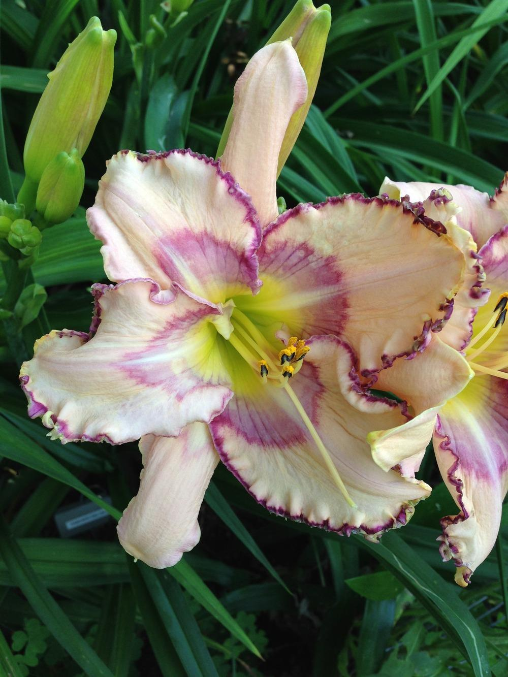 Photo of Daylily (Hemerocallis 'Handwriting on the Wall') uploaded by JWWC
