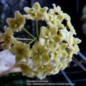 Location: My GardenDate: 2013-07-05Pretty butter yellow blooms, about 2 -3 in. across