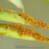 Location: Daytona Beach, FloridaDate: 2013-07-04 Seedpods covered in Aphids!