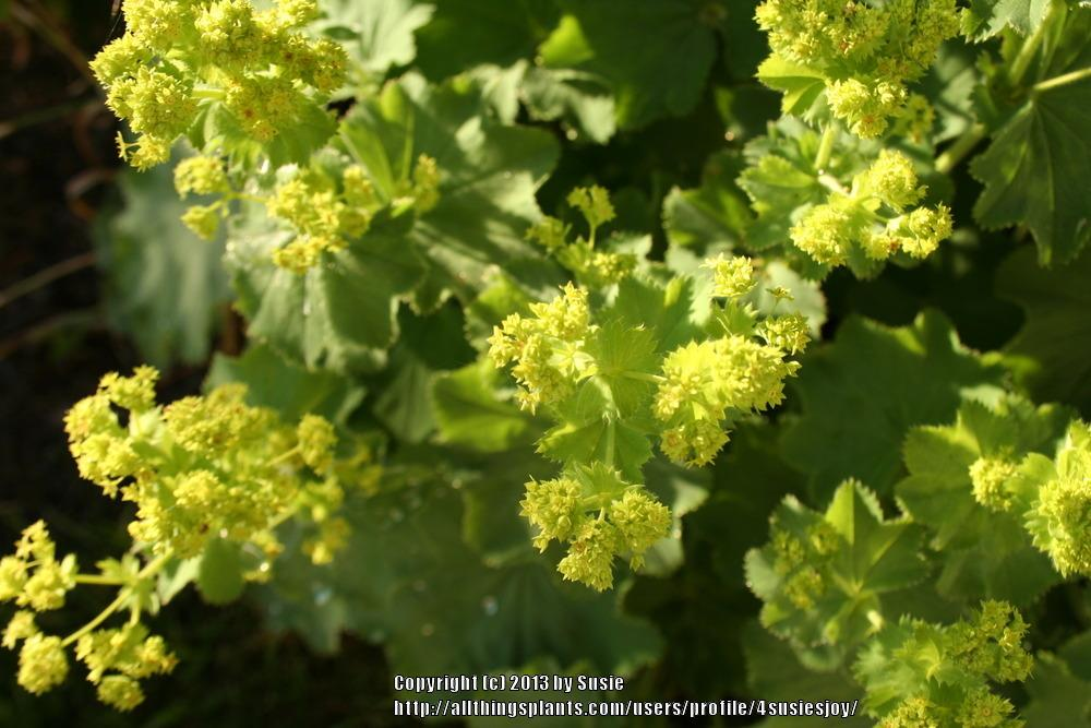 Photo of Lady's Mantle (Alchemilla mollis) uploaded by 4susiesjoy