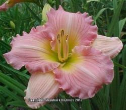 Thumb of 2013-07-06/daylily/757229