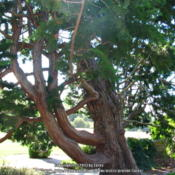 Location: At the Filoli gardens - Woodside, CADate: 2013-07-06Lovely false cypress