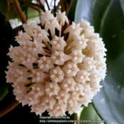 Location: My GardenDate: 2013-04-24Large blooms 3-4 in. across, fragrant