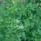 Location: raised bed   zone 8aDate: 2013-04-16Chervil just beginning to bloom as warm weather arrives