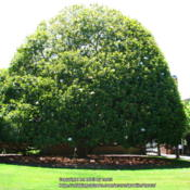 Location: At Filoli gardens - Woodside, CADate: 2013-07-06An immensely beautiful Magnolia tree