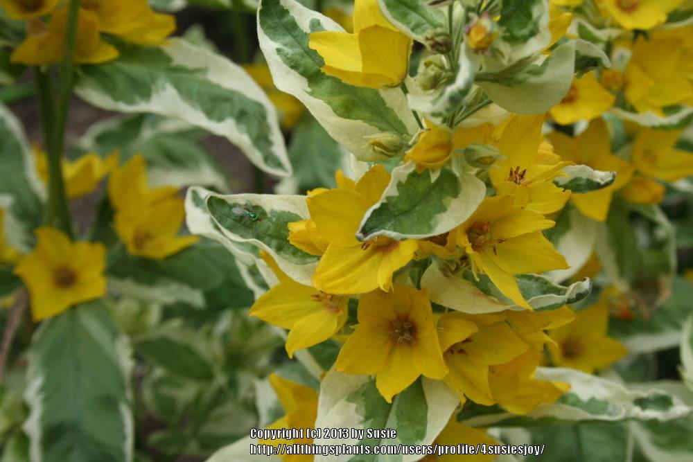 Photo of Variegated Yellow Loosestrife (Lysimachia punctata 'Alexander') uploaded by 4susiesjoy