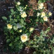 Location: Denver Metro CODate: 2013-07-10You can see the entire rose bush along with like 5 other roses in