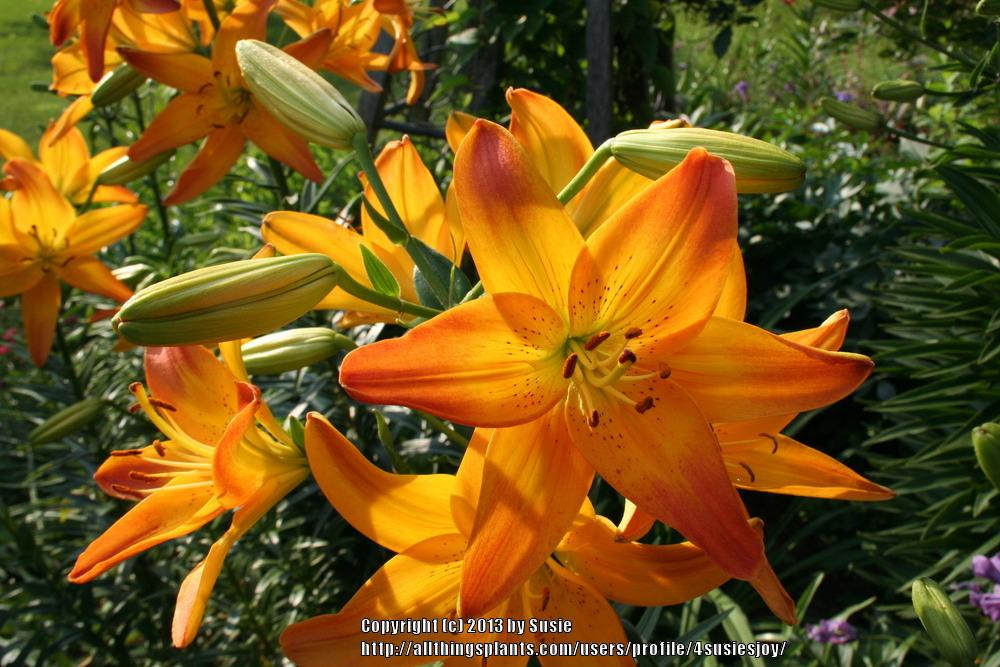 Photo of Lily (Lilium 'Gardenia') uploaded by 4susiesjoy