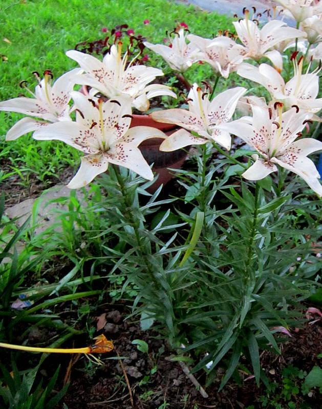 Photo of Lilies (Lilium) uploaded by ge1836