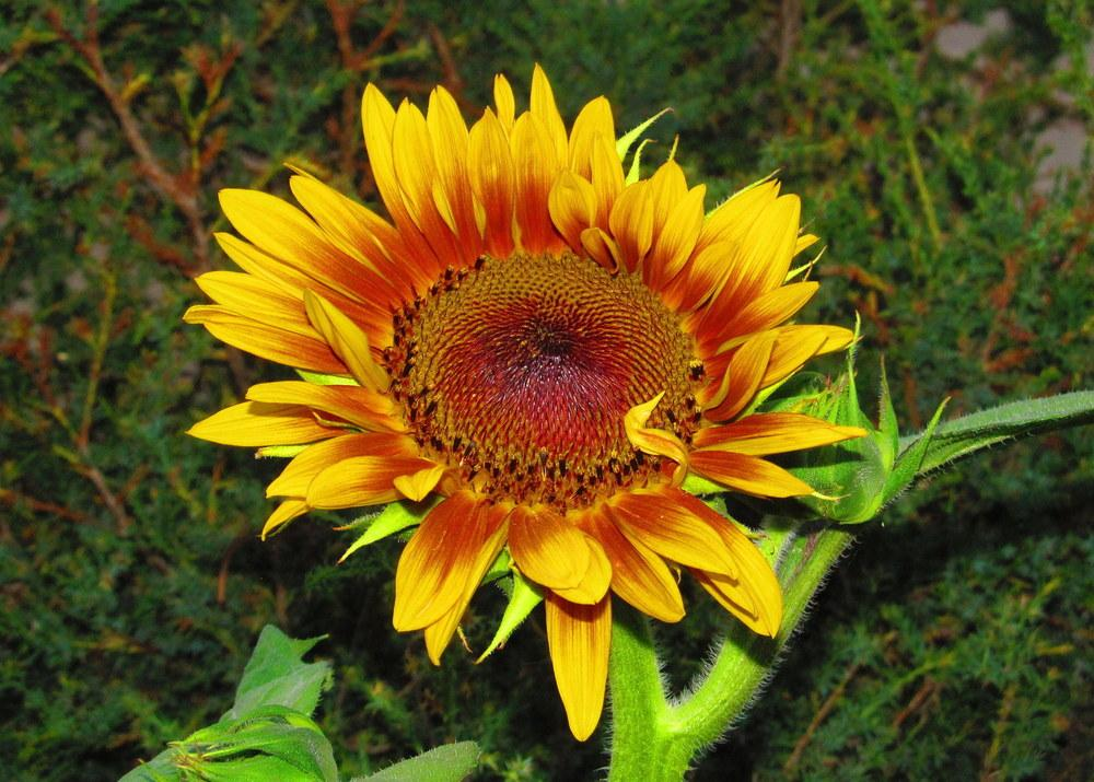 Photo of Sunflowers (Helianthus annuus) uploaded by jmorth