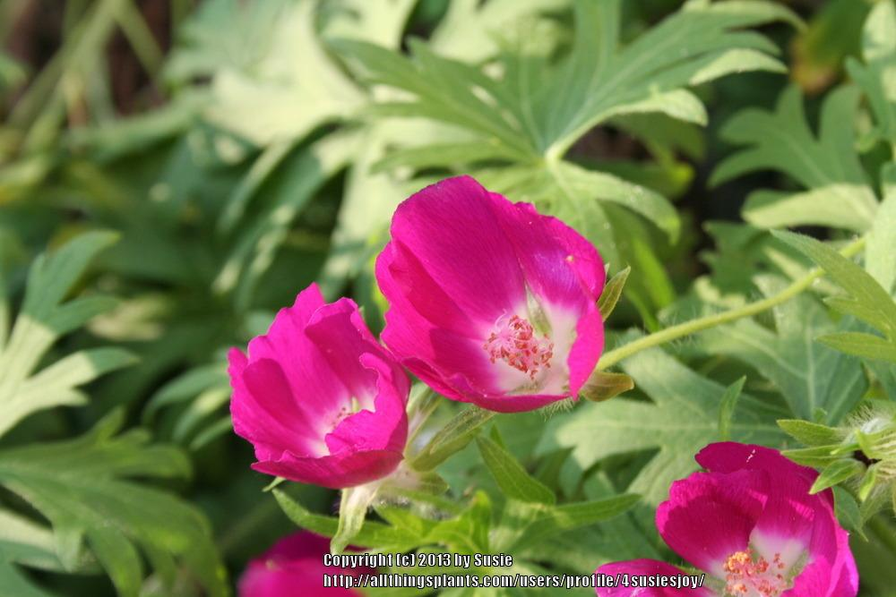 Photo of Poppy Mallow (Callirhoe involucrata) uploaded by 4susiesjoy