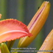 Location: My garden in KentuckyDate: 2013-07-03Showing the edge of the flower