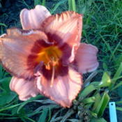 Location: my gardenDate: 2013-07-11 First bloom on a newly planted lily