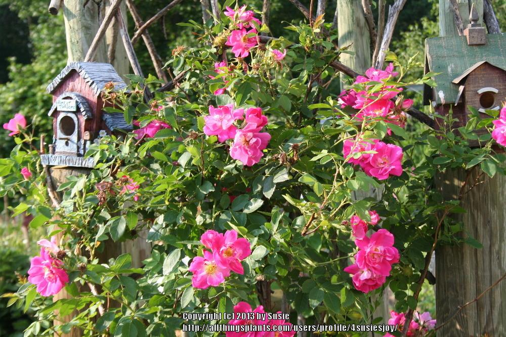 Photo of Rose (Rosa 'William Baffin') uploaded by 4susiesjoy