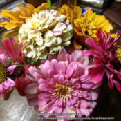Location: Plano, TXDate: 2013-07-12Candy Cane and California Giant zinnias