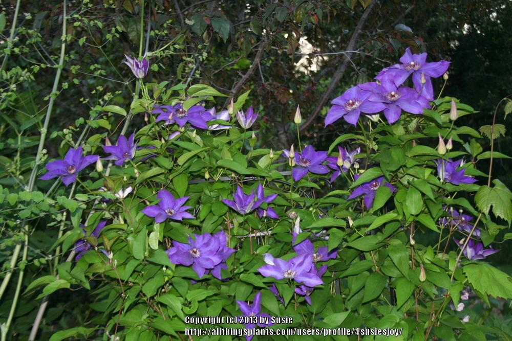Photo of Clematis 'The President' uploaded by 4susiesjoy