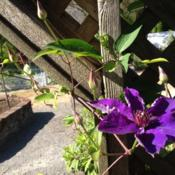 Location: Whidbey Island in Puget Sound, WADate: 13 July 2013Great climber for pergola... Twists on self on its own.