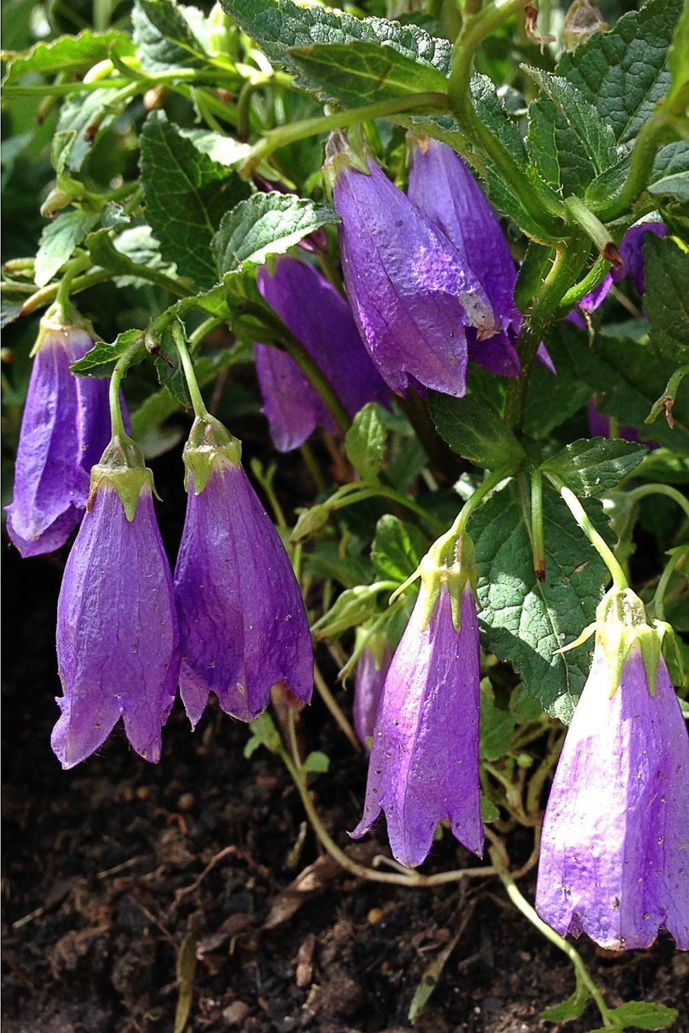 Bellflowers plant care and collection of varieties garden mightylinksfo