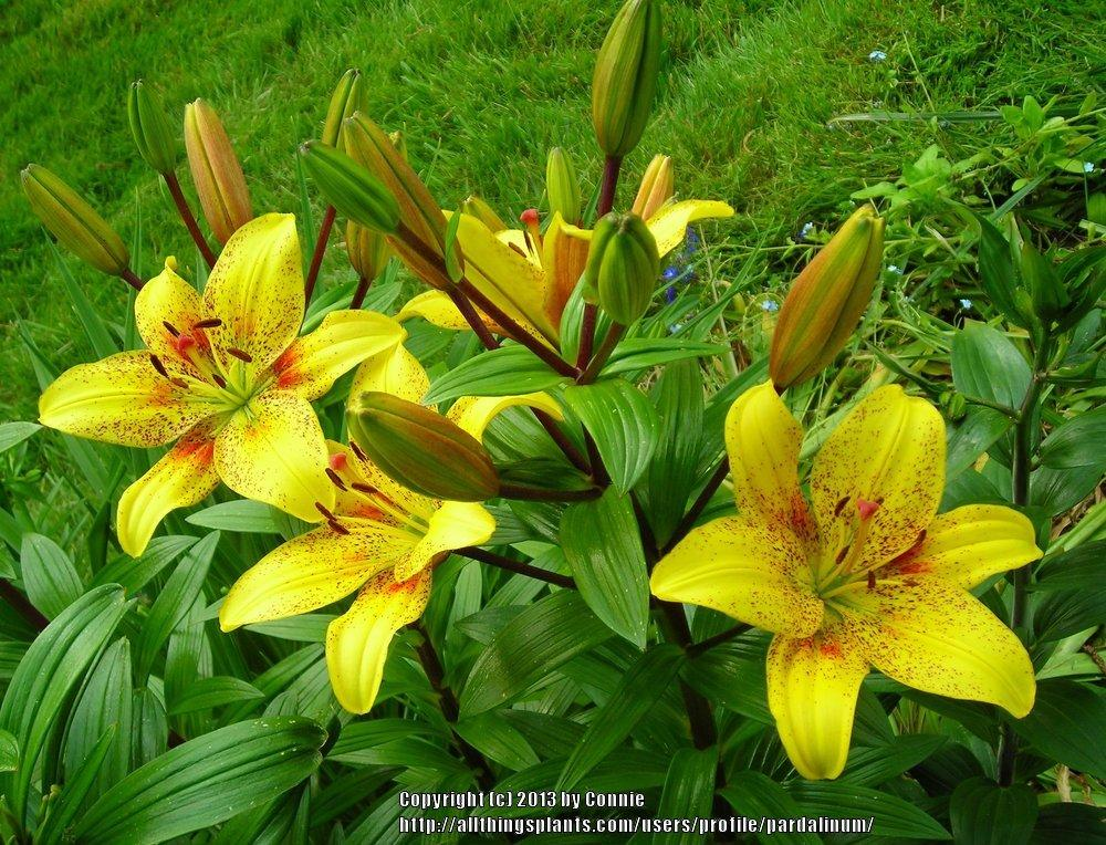 tango patterned lilies