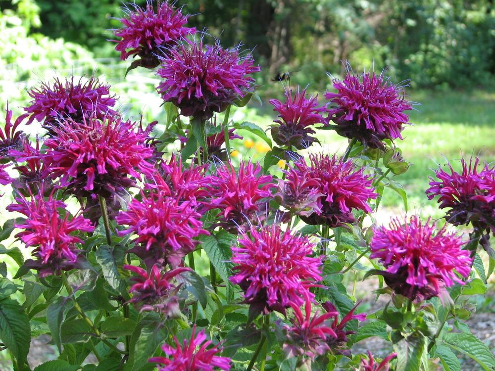 Photo of Bee Balm (Monarda didyma Grand Marshall™) uploaded by tgarden711