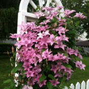 Location: Knoxville, IowaDate: June 2013This clematis loved the cool, damp spring in my mother'