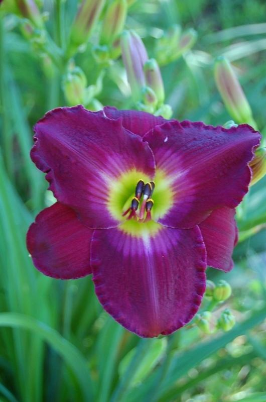 Photo of Daylily (Hemerocallis 'Nordic Night') uploaded by pixie62560