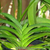 Location: At our garden - San Joaquin County, CADate: 2013-07-15New leaves forming at the tip of the plant - Vanda coer