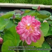 Location: Lilypons water garden center MDDate: 2013-06-30Blooming in a formal display pond at Lilypons