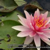 Location: Lilypons water garden center MDDate: 2013-06-25Blooming in a formal display pond at Lilypons