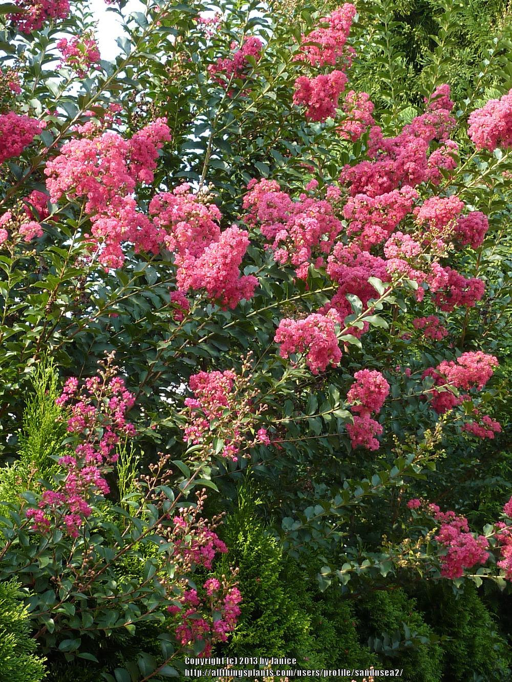 Photo of Crape Myrtle (Lagerstroemia indica 'Tuscarora') uploaded by sandnsea2