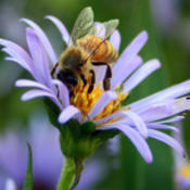 Date: 2013-07-19#Pollination  #Bee