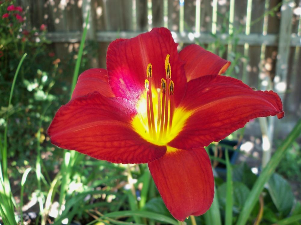 Photo of Daylily (Hemerocallis 'Chicago Apache') uploaded by virginiarose